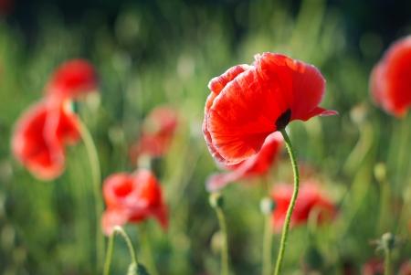 Poppy flower in field - Papaver orientate