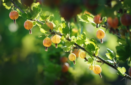 Some ripening gooseberries on the branch Stock Photo
