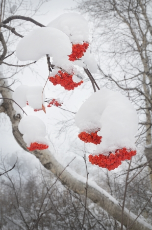 The mountain ash covered with snow  photo