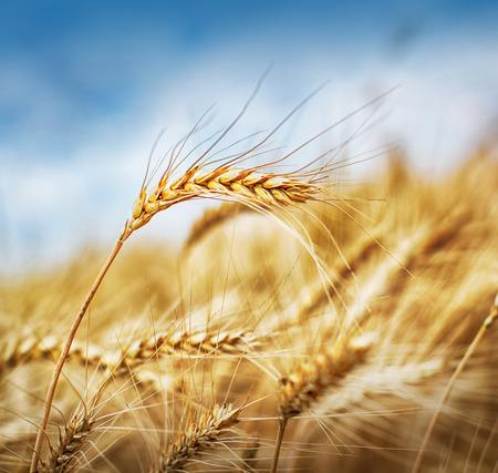 Yellow grain growing in a farm field