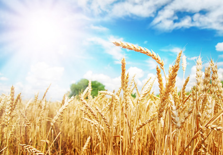 Wheat ears under the sun photo