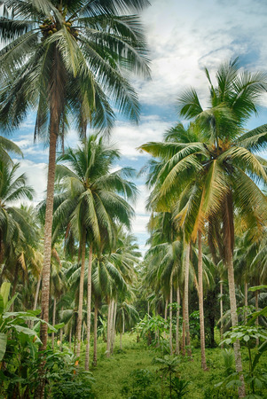 Coconut tree forest in Kho Chang island, Thailand.  Stock Photo