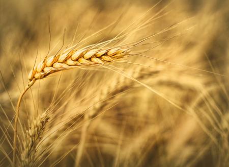 Wheat ear at the farm  Ready for harvest