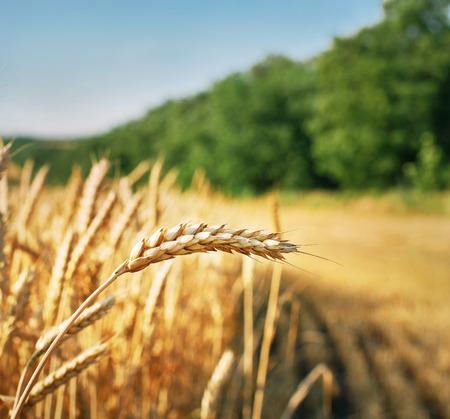 Wheat ear at the farm  Harvest time  Stock Photo
