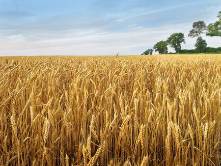 Golden grain field ready for harvest  photo