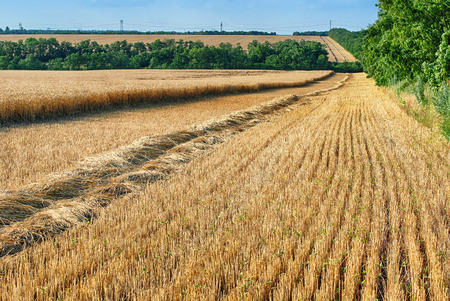 chaff: Wheat field - stubble and chaff after harvesting