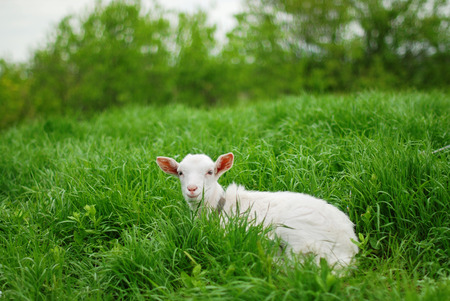 Young goat lying down. Photo taken on: May 09th, 2011. Stock Photo