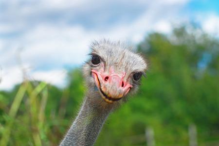 emu bird: Ostrich head closeup on the field