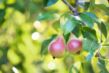 Two pears growing on a pear tree Stock Photo