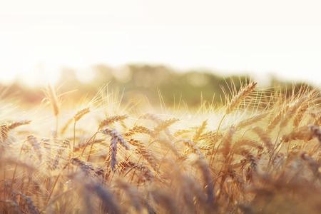 Wheat field in early sunlight.