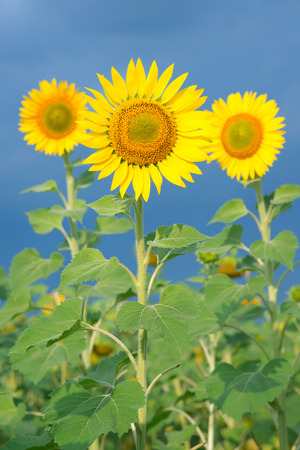 Sunflowers in early morning light