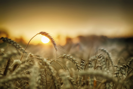 harvest field: Sunrise over field with wheat
