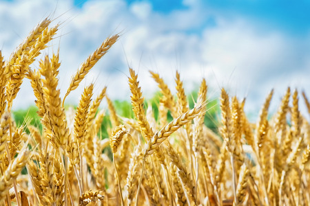 fond bl�: Wheat field, fresh crop of wheat Banque d'images