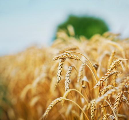 cultivo de trigo: Wheat field, fresh crop of wheat. Photo taken on: July 06st, 2015