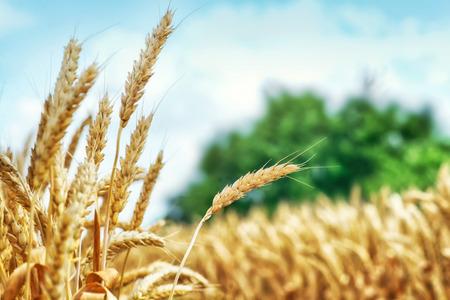 farm field: Yellow wheat ready for harvest growing in a farm field