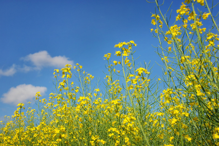 Yellow rape flowers under blue sky