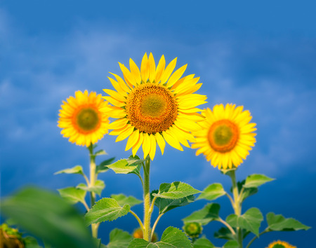 Beautiful sunflowers against blue sky Stock Photo