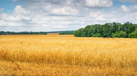 Amber waves of grain under clouds