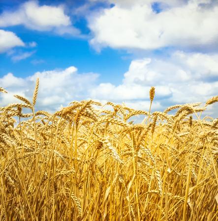 grain fields: Wheat ears at the farm under blue sky
