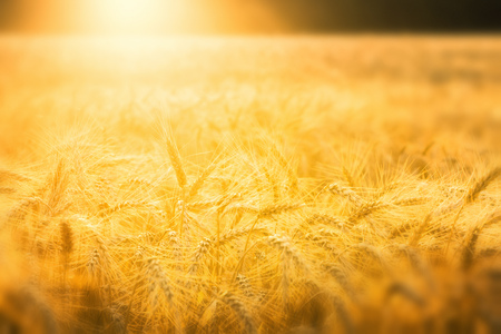 Golden wheat field in early sunlight Stock Photo