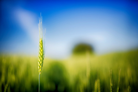 Green wheat field closeup Stock Photo