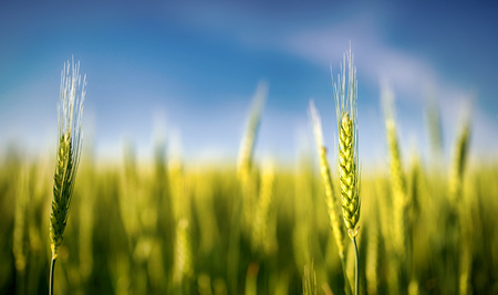 grains: A closeup view of a full head of rye grain growing in a field. Stock Photo