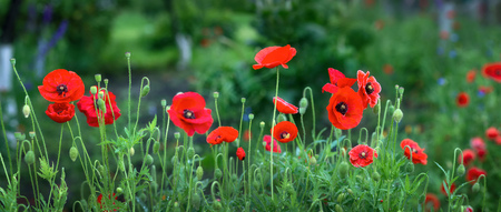Poppy flower in field - Panoramic view Stock Photo