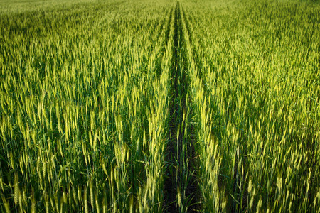 Green wheat field. Wide view. Stock Photo