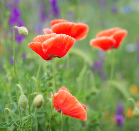 Red poppy flower in field Stock Photo