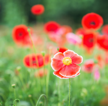 Red poppy flowersr in field.