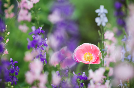 Pink poppy flower in flower field