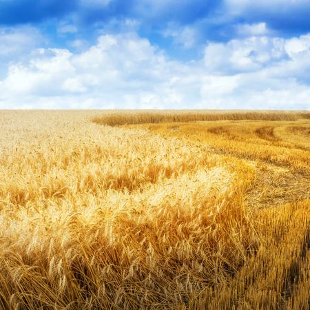 Golden grain field in summer day