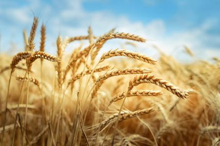 Campo de trigo dorado bajo cielo azul