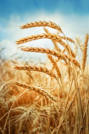 Gouden tarwe veld onder de blauwe hemel