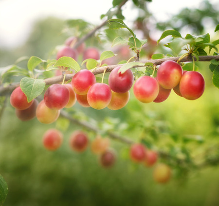 Ripe plum on a branch in a sunny summer day Stock Photo