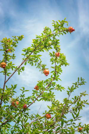 Pomegranate tree with fruits on blue sky background