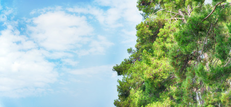 Pine trees and blue sky