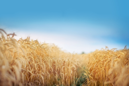 Field of golden wheat. Panoramic view.