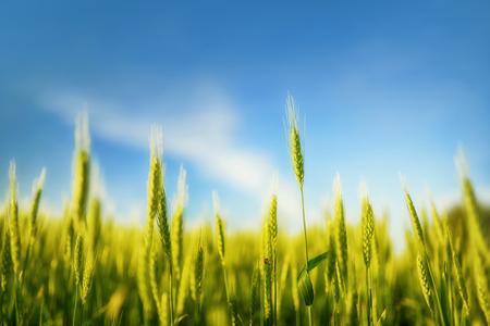 Green wheat field in early sunlight
