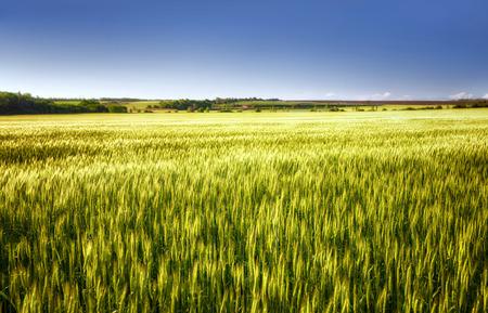 Green wheat field under blue sky Stock Photo