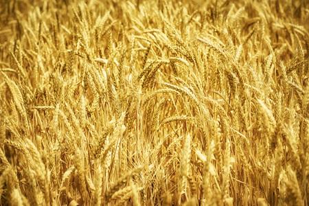 Golden wheat field background Stock Photo