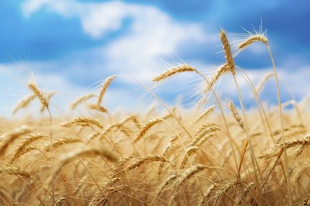 Tarwe veld onder blauwe hemel