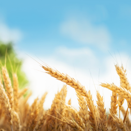 Wheat under blue sky Stock Photo