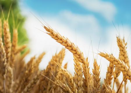Ear of wheat under blue sky