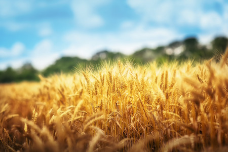 Golden wheat field ready for harvest Stock Photo
