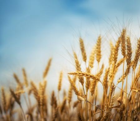 Wheat field, shallow depth of field. Stock Photo
