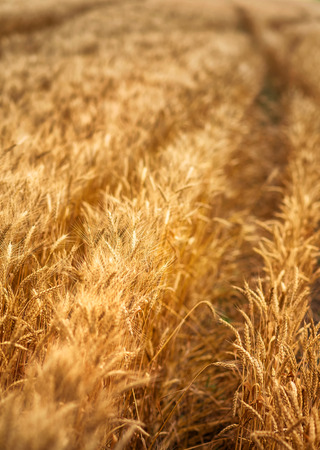 Golden wheat field, shallow depth of field.