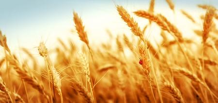 tiefe: Weizenähren auf dem Bauernhof, seichte Tiefe des Feldes.