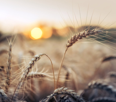 Sunset behind a wheat field.