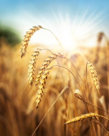 Sun behind a wheat field.  Stock Photo
